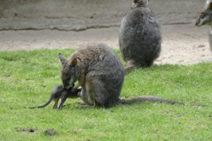 Wallaby-Mama mit Jungtier